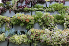 Wide variety of succulents on a garden wall Stock Images
