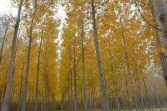Wide view of Aspens on Central Oregon tree farm. This is a wide view of Aspens with yellow fall colors on a tree farm in Central Oregon royalty free stock image