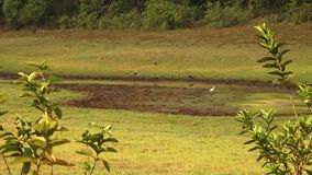 A wide view of birds in mud. A wide static shot of birds in India walking through mud stock video