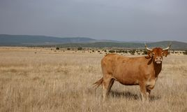 Brown cow in the smoothness. Wide view of brown cow in the smoothness Stock Photos