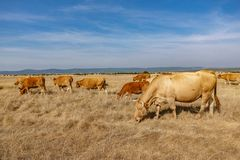 Brown cows in the smoothness. Wide view of brown cows in the smoothness Royalty Free Stock Photos