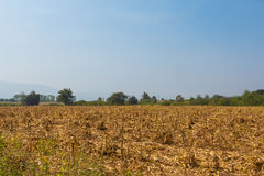 Wide view corn field affected by drought Royalty Free Stock Photos