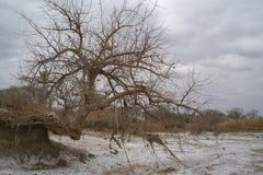 Wide view of crooked tree in Kissama salt plais, Bengo stock images