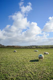 Wide view on Dutch landscape with sheep, meadow and cloudy skies Stock Photography