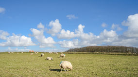 Wide view on Dutch landscape with sheep, meadow and cloudy skies Stock Photo