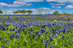 A Wide View of a Field Blanketed with the Famous Texas Bluebonnet Wildflowers With Other Wildflowers and Trees. A Wide Angle View of a Beautiful Field Blanketed Stock Image