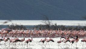 Wide view of flamingos appearing to march at lake bogoria