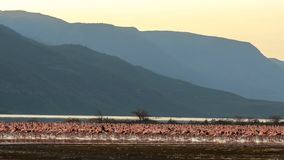 Wide view of flamingos on the shore of lake bogoria, kenya. Wide view of a flock of lesser flamingos on the shore of lake bogoria in kenya stock image