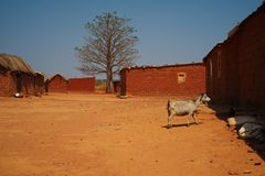Wide view of goat in Malanje village, Angola royalty free stock photo