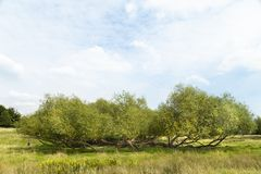 Wide view of green meadow and willow bush. Green park vista panorama landscape, willow bush blue cloudy sky and copy space royalty free stock image