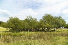 Wide view of green meadow and willow bush. Green park vista panorama landscape, willow bush blue cloudy sky and copy space stock photography
