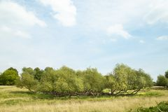 Wide view of green meadow and willow bush. Green park vista panorama landscape, willow bush blue cloudy sky and copy space stock photos