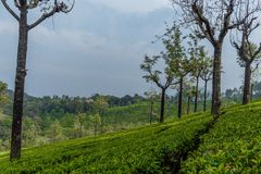 Wide view of green tree plantations with trees in between, Ooty, India, 19 Aug 2016 stock photos