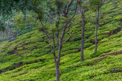 Wide view of green tree plantations with trees in between, Ooty, India, 19 Aug 2016 royalty free stock photography
