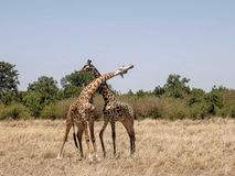 Wide view of male giraffes necking in masai mara, kenya. Wide view of male giraffes necking in masai mara game reserve, kenya royalty free stock images