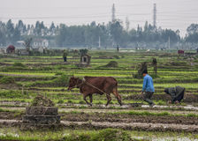Wide view scenery with farmer and ox plowing rice paddies. Stock Photo