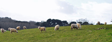 Wide view of sheep grazing on a hill Stock Image