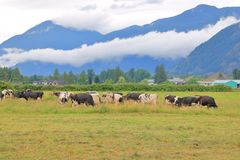 Cows and Pasture Land in Scenic Valley. Wide view of a spring pasture where dairy cows are grazing in the valley flat lands royalty free stock images
