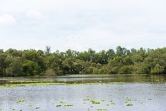 Wide view of Tra Su flooded indigo plant forest, with flying flock of stork in An Giang, Mekong delta, Vietnam.  Stock Photos