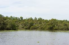 Wide view of Tra Su flooded indigo plant forest, with flying flock of stork in An Giang, Mekong delta, Vietnam.  Stock Image