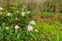 Wide white magnolia bush country garden Stock Photos
