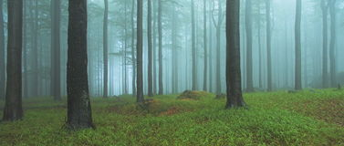 Wide wood. Panoramatic wood in haze. Jizerske hory, Czech Republic Stock Image
