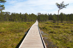 Wide wooden walkway on Viru Raba bog in Estonia going to the a small coniferous forest of pines. In summer sunny day with blue sky Royalty Free Stock Photo