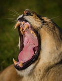A wide yawn from a lioness. Showing all of the teeth Stock Photo