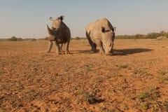 Wideangel noshörningar i africa Royaltyfria Bilder