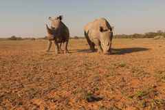 Wideangel rhinos in africa Royalty Free Stock Images
