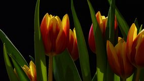 Wideangle detail of red and yellow hybrid tulip flowers on dark background Royalty Free Stock Photo
