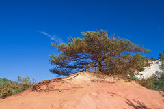 Widely branched pine on the ocher hill Royalty Free Stock Photography