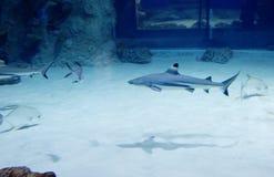 Blacktip reef shark . royalty free stock photo