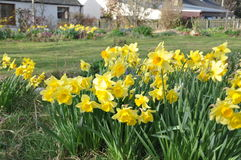 A widely grown daffodil in the garden royalty free stock photography