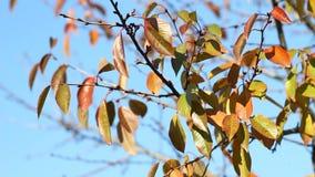 Wideo jesieni czereśniowy drzewo zbiory