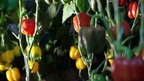 Wideo kamer niecki przez gospodarstwa rolnego dojrzali dzwonkowi pieprze na winogradzie z oświetleniem zdjęcie wideo
