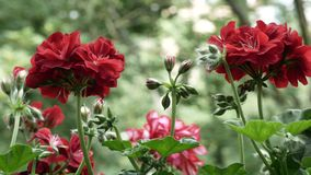 Wideo kwitnący begoni Pelargonium zbiory wideo