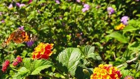 Wideo malujący damy motyli latanie od jeden lantana camara kwiatu inny, zbiera nektar Strzelaj?cy przy 120 fps zbiory wideo