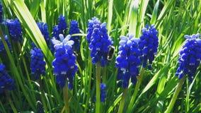 Wideo miodowa pszczoła ssa tectar fra gronowego hiacyntu kwiat lub muscari zbiory wideo