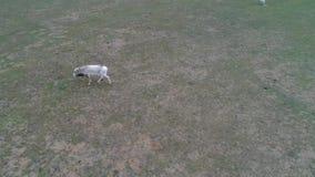 Wideo od trutnia Saigas biega przez step zdjęcie wideo