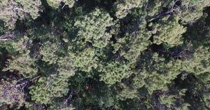Wideo sosnowy las, drzewo odgórny widok Wideo dla miejsca tła zdjęcie wideo