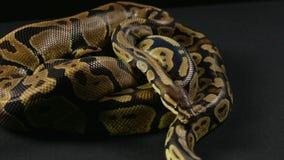 Wideo węże - dwa pełzającego pytonu zdjęcie wideo