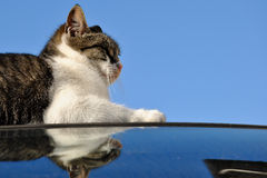 Widergespiegelte Katze Stockfotos