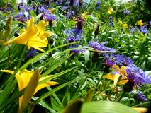 Great flower bed with yellow lilies and blue cornflowers. Widespread ornamental plant, most plant parts are edible, popular flower for park and garden, opened stock photo