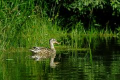 Widgeon Royalty Free Stock Photos