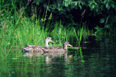 Widgeon Royalty Free Stock Image