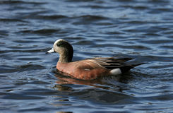 Widgeon Lizenzfreies Stockfoto