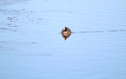 Widgeon (Anas penelope). A Widgeon (duck) seen swimming in blue water with shards of ice visible. Picture taken in Gloucestershire, England in January Royalty Free Stock Image