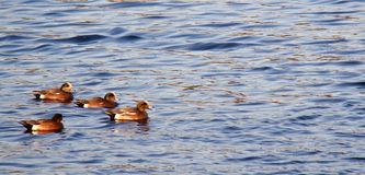 Widgeon. A family of Returning widgeon on Esquimalt Lagoon in the early morning in Colwood,BC,Canada Royalty Free Stock Photo