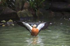 Widl充满幸福的鸭子游泳在水池 库存照片